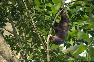 Hoffmann's Two-toed Sloth (Choloepus hoffmanni) in tree, Ecuador
