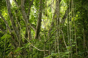 Vines and lowland dry tropical forest, Ecuador