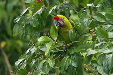 Great Green Macaw (Ara ambigua) feeding on berries, Ecuador
