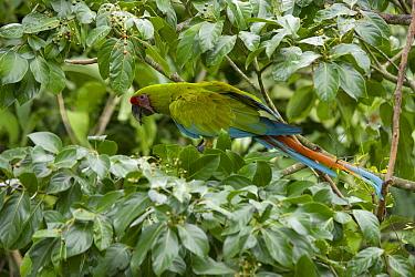Great Green Macaw (Ara ambigua), Ecuador
