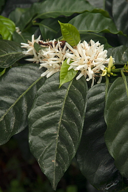 Coffee (Coffea arabica) flowers, Ecuador