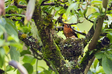 Shining Sunbeam (Aglaeactis cupripennis) hummingbird at nest, Ecuador