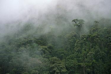 Sub-tropical cloud forest in mist, Ecuador