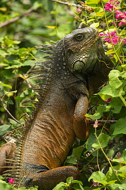 Green Iguana (Iguana iguana) male, Ecuador