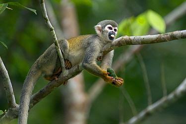 South American Squirrel Monkey (Saimiri sciureus) feeding on fruit, Ecuador