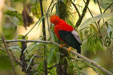 Andean Cock-of-the-rock (Rupicola peruvianus) male, Ecuador