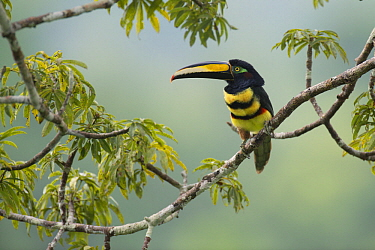 Many-banded Aracari (Pteroglossus pluricinctus), Amazon, Ecuador