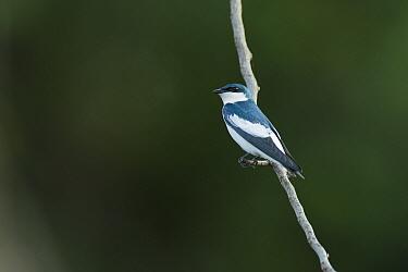 White-winged Swallow (Tachycineta albiventer), Ecuador