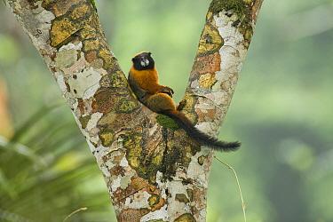 Golden-mantled Tamarin (Saguinus tripartitus) resting in tree, Amazon, Ecuador