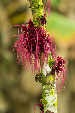 Mallow (Malvaceae) flowering, Amazon, Ecuador