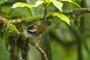 Orange-billed Sparrow (Arremon aurantiirostris), Choco Rainforest, Ecuador