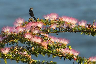 Variable Seedeater (Sporophila americana) on flowering tree, Ecuador