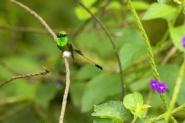 Booted Racket-tail (Ocreatus underwoodii) hummingbird, Ecuador