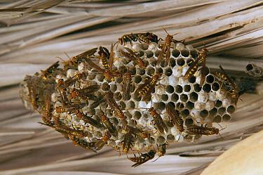 Wasp (Vespidae) group on nest, Ecuador