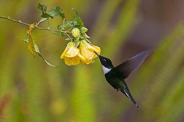 Collared Inca (Coeligena torquata) hummingbird feeding on flower nectar, Ecuador