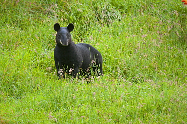 Mountain Tapir (Tapirus pinchaque), Ecuador
