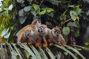 South American Squirrel Monkey (Saimiri sciureus) group huddled together on branch, Amazon, Ecuador