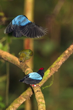 Blue-backed Manakin (Chiroxiphia pareola) dominant male and submissive male in synchronized courting dance for female, Ecuador