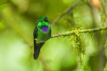 Purple-bibbed Whitetip (Urosticte benjamini) hummingbird male calling, Ecuador