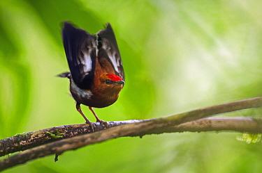 Club-winged Manakin (Machaeropterus deliciosus) in courtship display, Ecuador