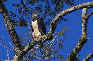 Harpy Eagle (Harpia harpyja), Ecuador