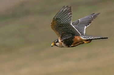 Aplomado Falcon (Falco femoralis) flying, Ecuador