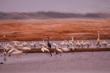Snowy Egret (Egretta thula) and Great Egret (Ardea alba) flock in wetland, Amazon, Ecuador