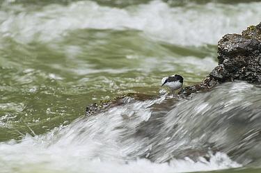 White-capped Dipper (Cinclus leucocephalus) foraging in river, Ecuador