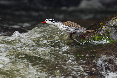 Torrent Duck (Merganetta armata) male entering river, Ecuador