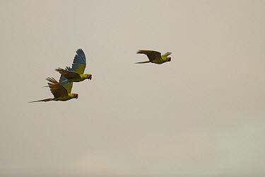 Great Green Macaw (Ara ambigua) trio flying, Ecuador