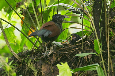 Banded Ground-Cuckoo (Neomorphus radiolosus) parent clapping bill in defensive display while chick feeds on insect prey in nest, Choco Rainforest, Ecuador