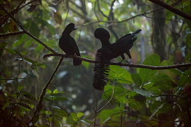 Long-wattled Umbrellabird (Cephalopterus penduliger) male courting female at lek, Choco Rainforest, Ecuador. Sequence 2 of 3