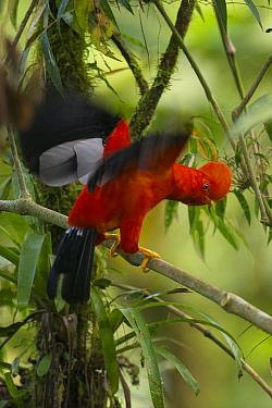 Andean Cock-of-the-rock (Rupicola peruvianus) male in courtship display, Ecuador