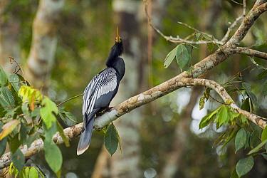 American Darter (Anhinga anhinga) male, Ecuador