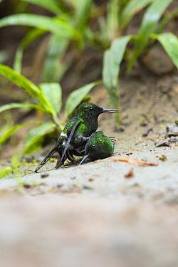 Green Thorntail (Discosura conversii) hummingbird males fighting, Choco Rainforest, Ecuador. Sequence 1 of 4