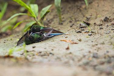 Green Thorntail (Discosura conversii) hummingbird males fighting, Choco Rainforest, Ecuador. Sequence 2 of 4