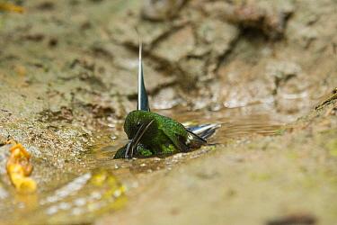 Green Thorntail (Discosura conversii) hummingbird males fighting, Choco Rainforest, Ecuador. Sequence 3 of 4