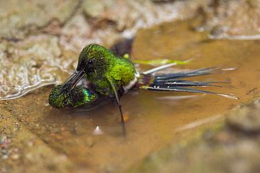 Green Thorntail (Discosura conversii) hummingbird males fighting, Choco Rainforest, Ecuador. Sequence 4 of 4