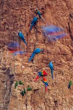 Scarlet Macaw (Ara macao), Blue and Yellow Macaw (Ara ararauna), and Dusky-headed Parakeet (Aratinga weddellii) flock at mineral lick, Peru
