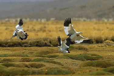 Andean Goose (Chloephaga melanoptera) trio in territorial fight, Argentina