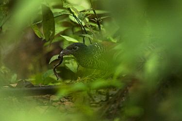 Banded Ground-Cuckoo (Neomorphus radiolosus) with prey, Choco Rainforest, Ecuador