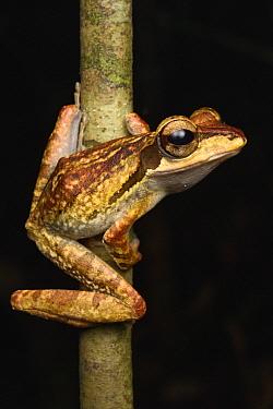 Dark-eared Tree Frog (Polypedates macrotis), Kubah National Park, Sarawak, Borneo, Malaysia