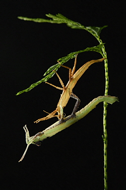 Stick Insect (Pylaemenes�borneensis) molting, Gunung Penrissen, Sarawak, Borneo, Malaysia