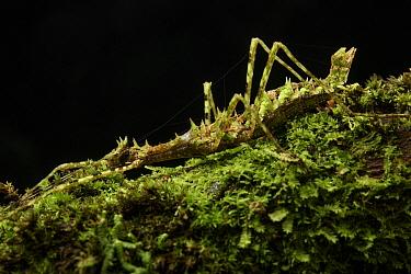 Stick Insect (Orthostheneboea exotica) female, Gunung Penrissen, Sarawak, Borneo, Malaysia