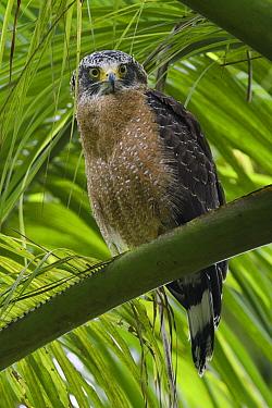 Crested Serpent-Eagle (Spilornis cheela), Sepilok Forest Reserve, Sabah, Borneo, Malaysia