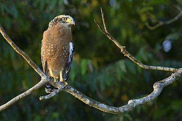 Crested Serpent-Eagle (Spilornis cheela), Kinabatangan Wildlife Sanctuary, Sabah, Borneo, Malaysia