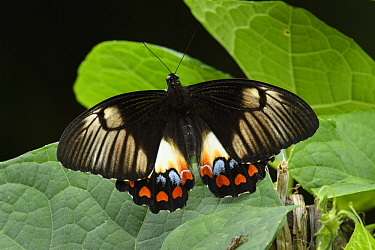 Orchard Swallowtail (Papilio aegeus) butterfly, Arfak Mountains, New Guinea, Indonesia