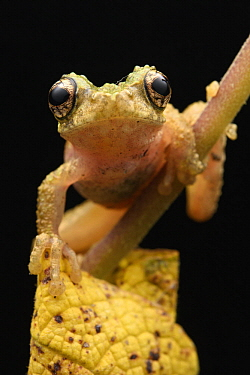Australasian Tree Frog (Litoria sp), Arfak Mountains, New Guinea, Indonesia