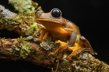 Treefrog (Nyctimystes sp), Arfak Mountains, New Guinea, Indonesia