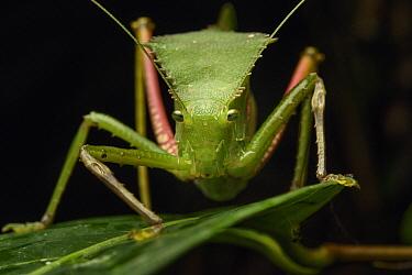 Katydid (Tettigoniidae), Nimbokrang, New Guinea, Indonesia